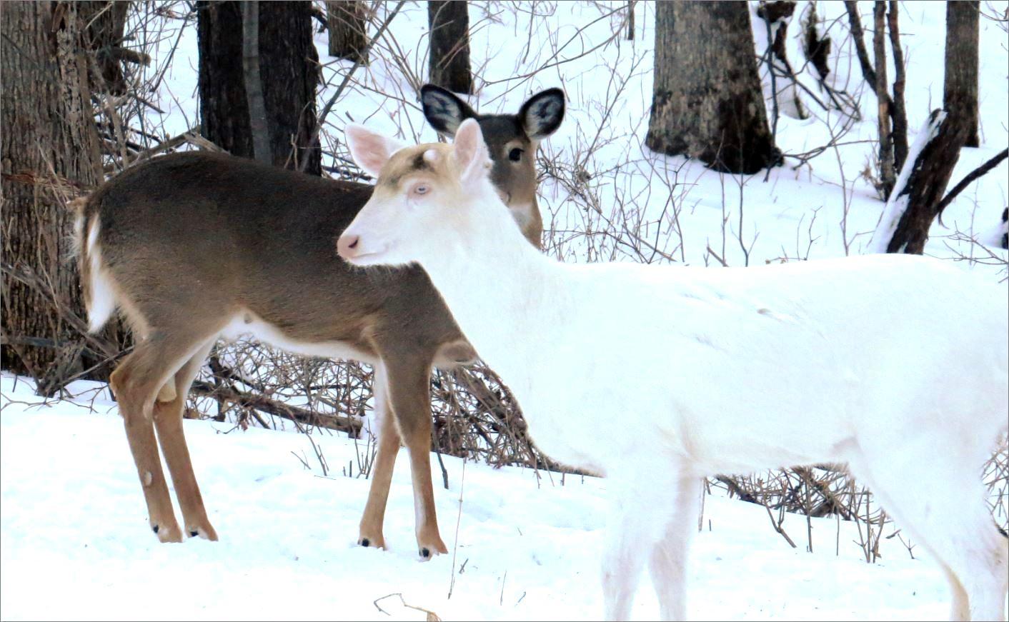 2 deer (one albino)