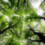 Tree canopy from the ground